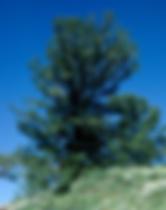 Limber Pine Tree