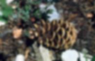 Limber Pine Cones
