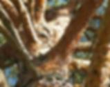 Scots Pine Bark