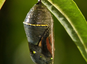 Chrysalis_to_Butterfly_-1_of_5_702607786