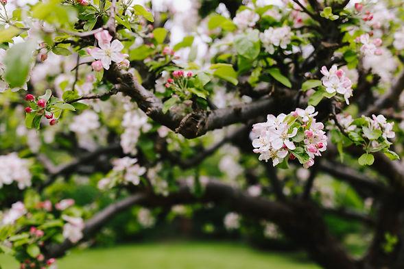 E&E Apple blossom.jpg