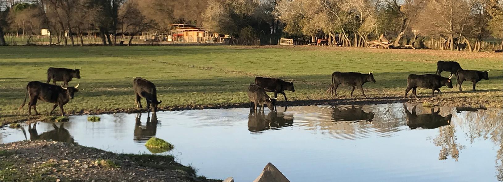 Vaches dans l'eau