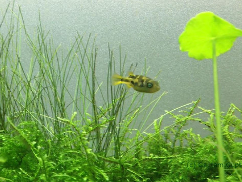 Indian Ornamental Fish for Planted Aquaria