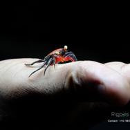 Red Carnival Crab