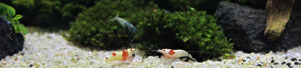 Shrimps02.JPG