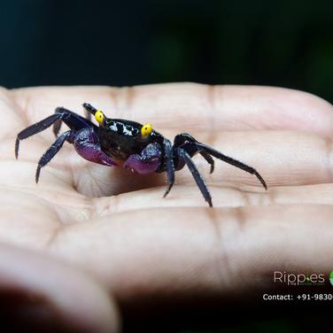 Vampire Carnival Crab