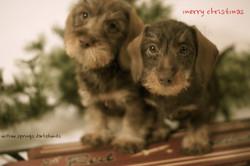 nele's chocolate puppies