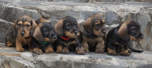 miniature wirehaired dachshund
