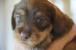 chocolate/tan puppy