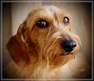 red wirehaired dachshund