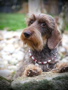 chocolate wirehaired dachshund