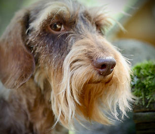chocolate wirehaired dachshund