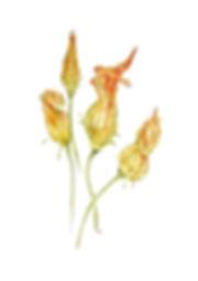 Courgette Flowers .jpg