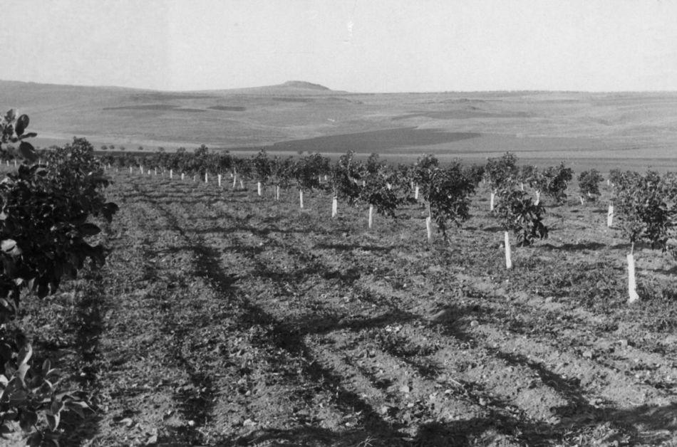 העצים הראשונים בפרדס 1960