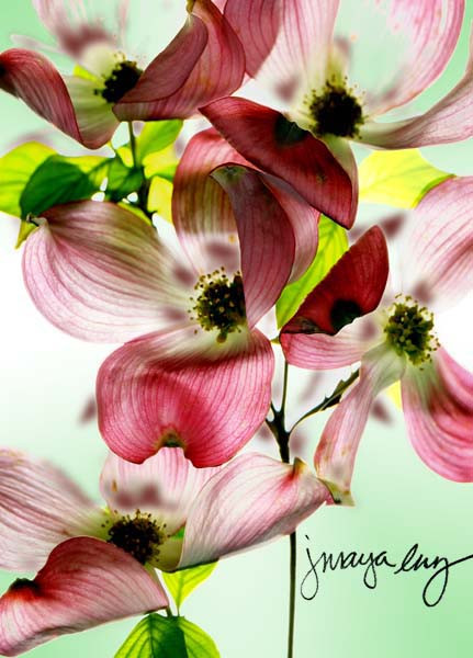 dogwood okeefe2 copy.jpg