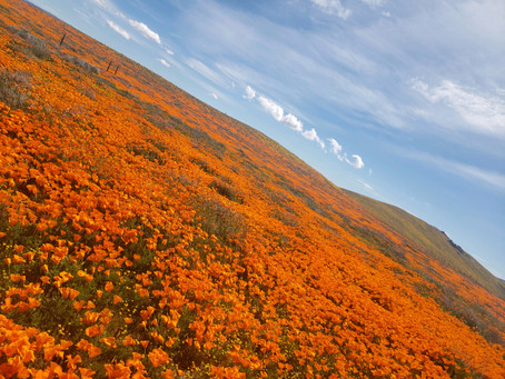 Super Bloom in the Antelope Valley California Poppy Reserve