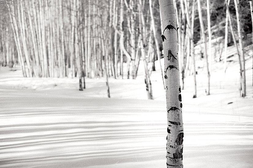 Aspens in Winter II
