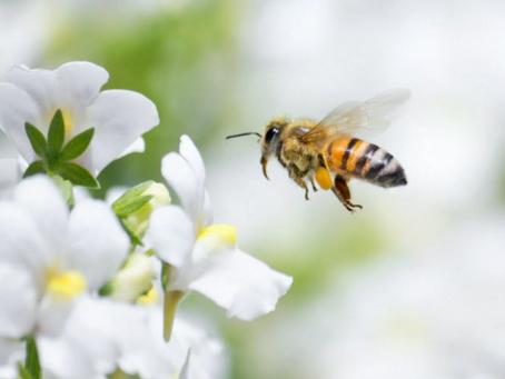 Cancer du sein : le venin des abeilles tuerait les cellules cancéreuses