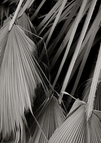 Fan Palm Fronds (1)