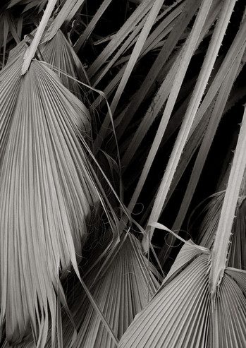 Fan Palm Fronds (1)