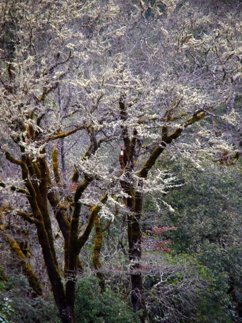 Blooming Oaks in Spring
