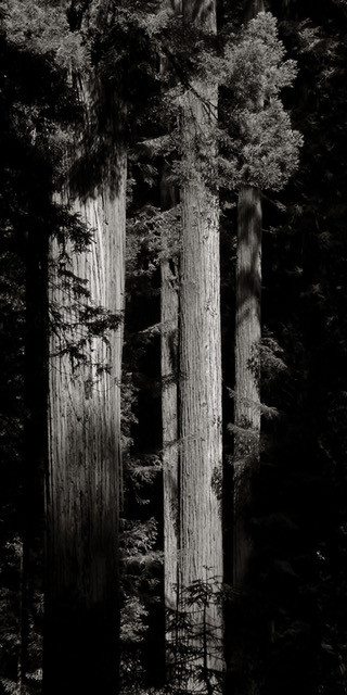 A Stand of Redwoods