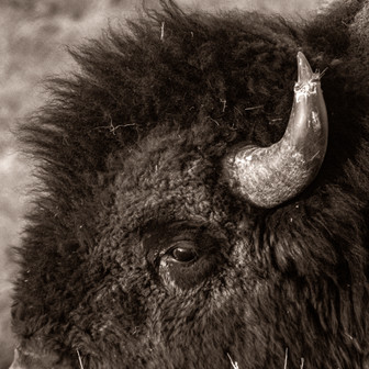 Eye of the Bison