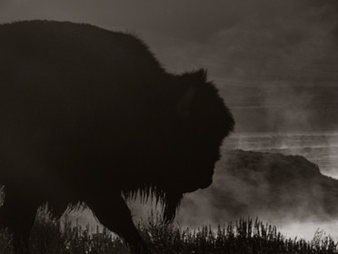 Bison on a cold fall morning