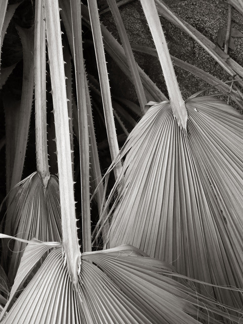 Palm Fronds (2)