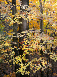 Autumn in the Eastern Hardwood Forest