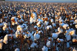 cotton064