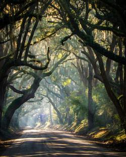 oak tree066