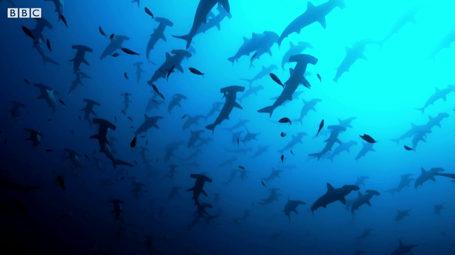 the-complex-world-of-hammerhead-sharks-m