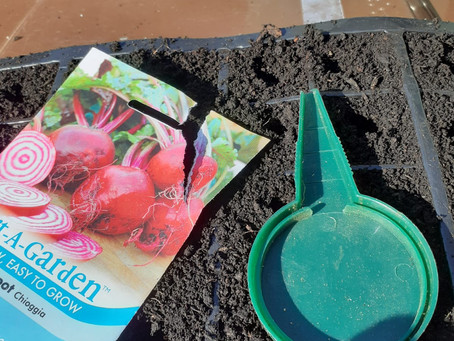 Planting Beetroot from Seeds
