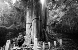 花脊の三本杉。
