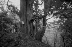 楢原山山頂付近の子持ち杉。