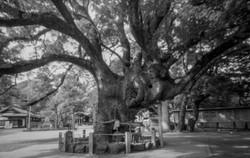 大麻比古神社(徳島県鳴門市)の、推定樹齢が約800年の大楠。