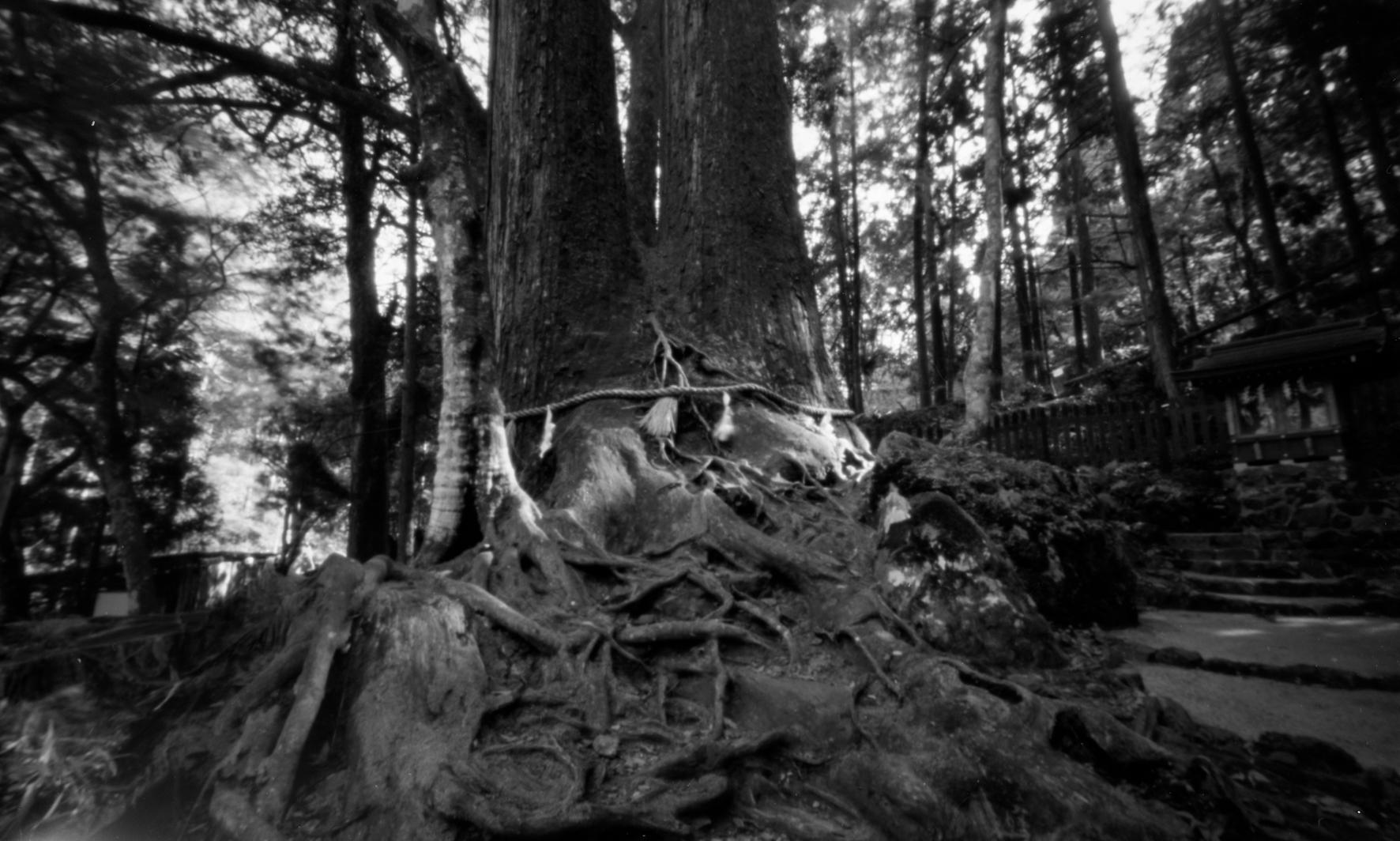 貴船神社 奥宮 相生の大杉。