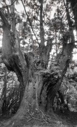片波川源流域伏条台杉群