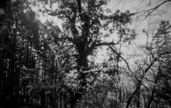 杉坂峠の杉