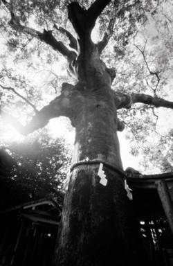 武信稲荷神武信稲荷神社 樹齢約850年の榎の木