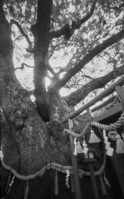 門真市・三島神社の薫蓋樟(くんがいしょう)
