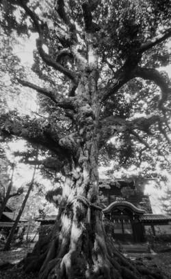 新日吉神宮の神木のスダジイ