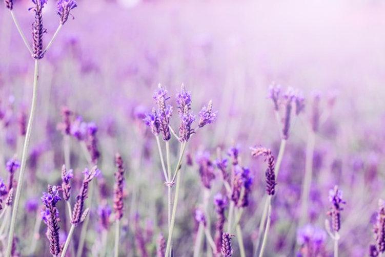 coucher-soleil-champ-lavande-violet-prov
