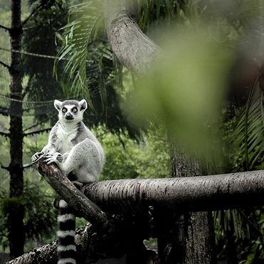 ring-tailed-lemur-3017987-3.JPG