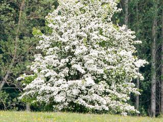 Tree of the Week : Hawthorn