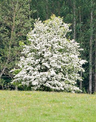 Hawthorn-Tree.jpg