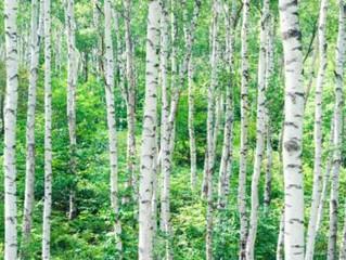 Tree of the Week : Birch
