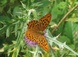 Butterfly Donegal