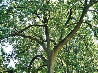 Tree of the Week: Ash Tree